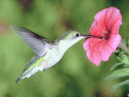 Din nou despre pasarea Colibri