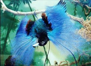 Pasarea albastra a Paradisului (Paradisaea rudolphi)