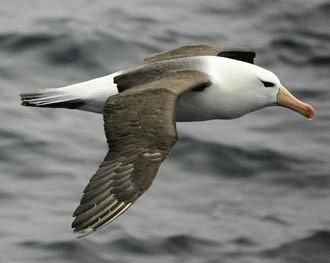 Albatrosul urlator (Diomedea exulans)