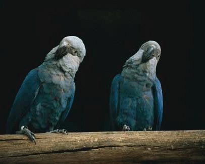 Papagalul Spix (Cyanopsitta spixii)