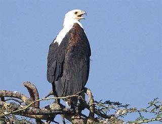 Haliaeetus vocifer - Vulturul pescar african