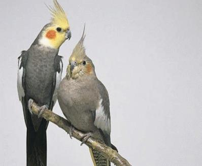 Papagalul nimfa (Nymphicus hollandicus)