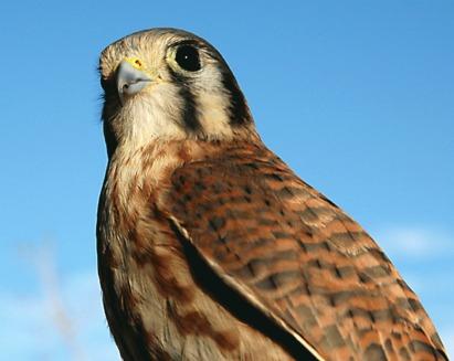 Falco sparverius - cel mai mic vultur nord-american
