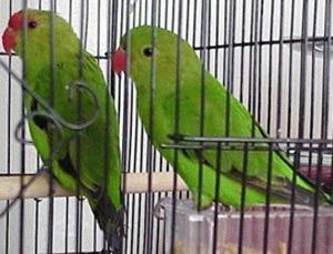 Papagalii amorezi