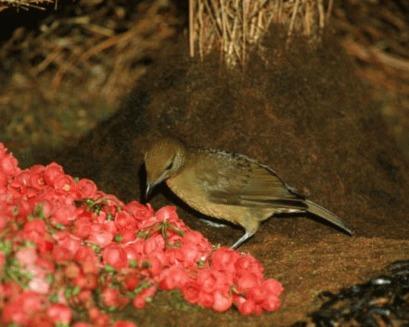 Amblyornis inornata - pasarea gradinar