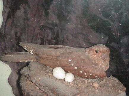 Guacharo (Steatornis caripensis) - pasarea pesterilor