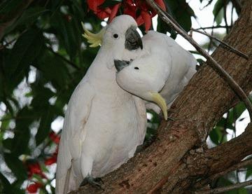 Cum invata papagalii sa vorbeasca?