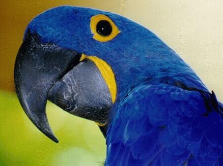 Papagalul zambila (Anodorhynchus hyacinthinus)