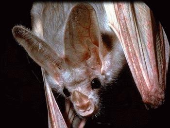 Liliacul fantoma (Macroderma gigas)