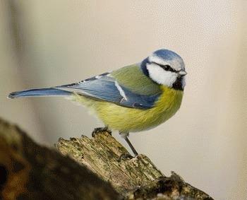 Pitigoiul albastru (Parus caeruleus)