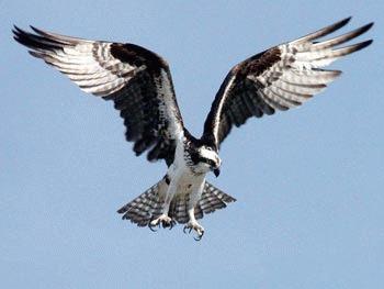 Vulturul pescar (Pandion haliaetus)