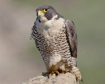 Soimul calator (Falco peregrinus)