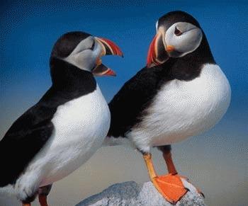 Pinguinul Pufin (Fratercula arctica)