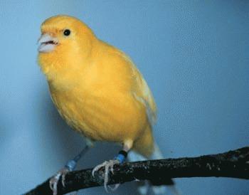 Canarul - tenorul din lumea pasarilor