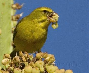 Nutritia corecta a canarilor