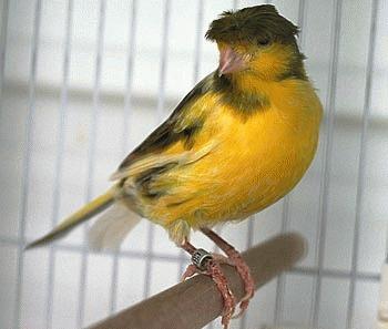 Canarul - subspecii si varietati (I)