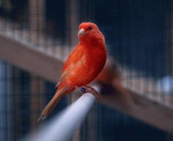 Canarul - subspecii si varietati (II)