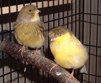 Sexarea canarilor - mascul sau femela?!