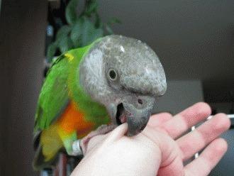 Papagalul musca - chiar este agresiv?!