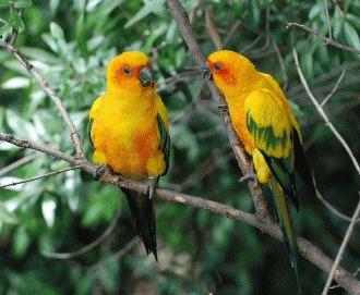 Papagalul Aratinga Soarelui (Aratinga solstitialis)
