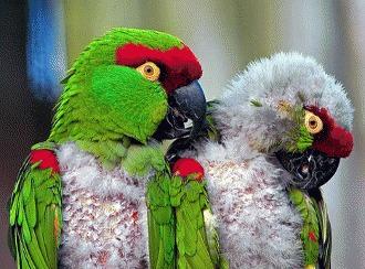 De ce isi smulge papagalul penele?!