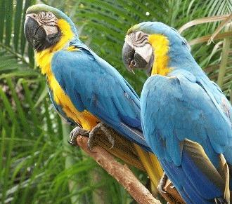 Papagalul Macaw pe cale de disparitie