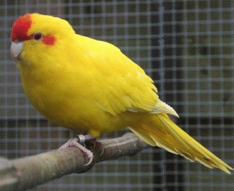 Papagalul Kakariki - zis si papagalul capra