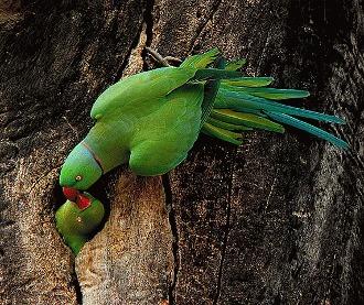 Papagalul Marele Alexandru (Psittacula eupatria)
