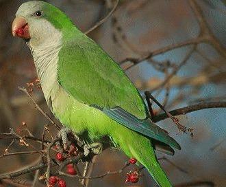 Papagalul calugar (Myiopsitta monachus)