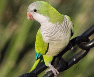 Papagalul calugar - Ghid de ingrijire