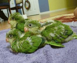 Reproducerea papagalului calugar