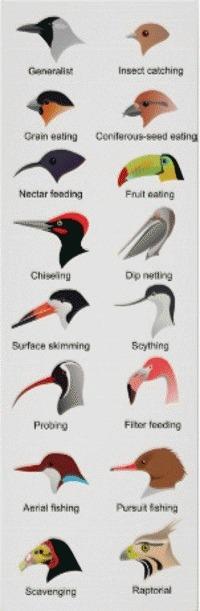 Ciocul pasarilor - forme si tipuri