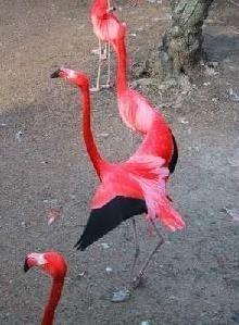 Furtul celor 14 flamingo roz la Zoo Amiens