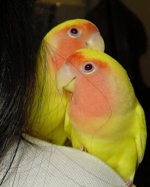 Comportamentul amoros la papagali