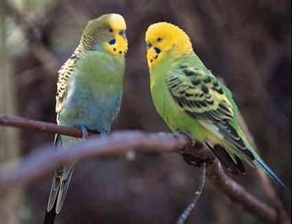 Atitudinile corporale ale papagalului sau perusului