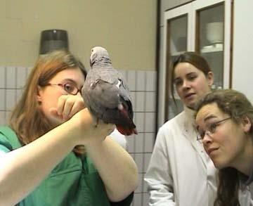 Simptomele unei boli la papagal