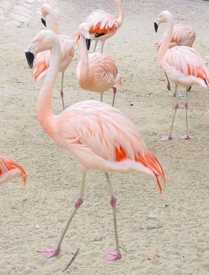 Pasari flamingo furate