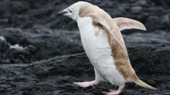 Un pinguin blond a fost găsit în Antarctica. Ce au aflat speciliştii - VIDEO