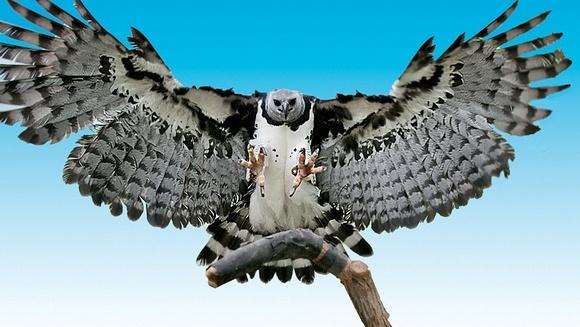 Vulturul harpie (Harpia harpyja) - una dintre cele mai mari şi puternice păsări de prada din lume