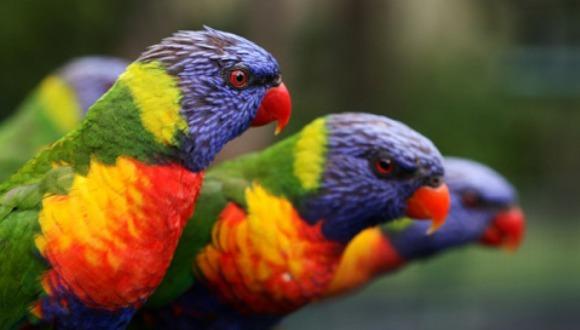 Papagalul Lori curcubeu - splendoarea australoasiatică
