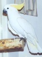 Papagalii cacadu