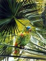 Papagalii amazonieni