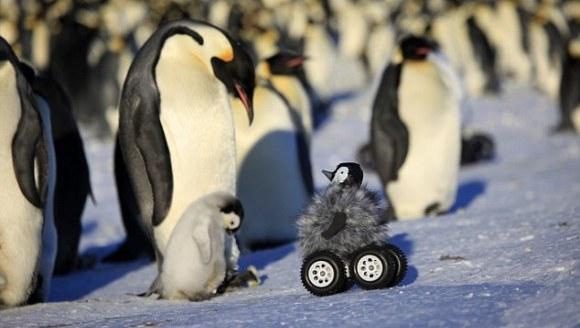 Pinguin-robot introdus într-o colonie de pinguini. Cum au reacţionat aceştia
