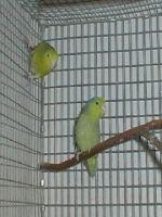 Varsta medie a pasarilor de colivie