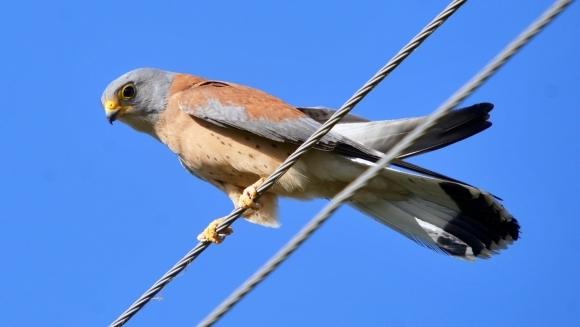 Păsările răpitoare ale României. Răpitoarele de zi