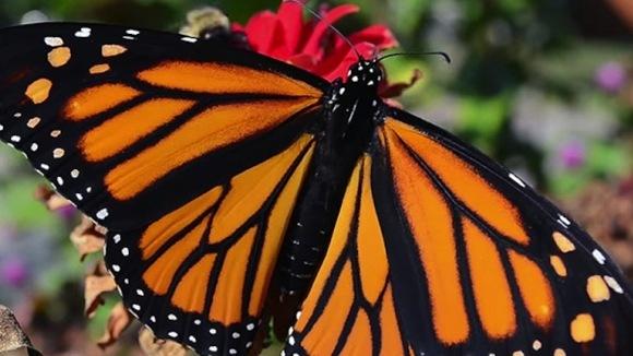 Fluturele monarh, pe cale de dispariţie