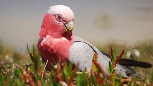 Papagalul Galah sau Kakadu roz