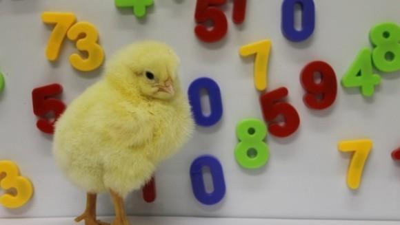 """Puii de găină """"numără"""" de la stânga spre dreapta"""