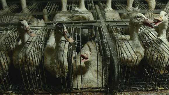 Fois gras – multă cruzime, puțină delicatețe VIDEO