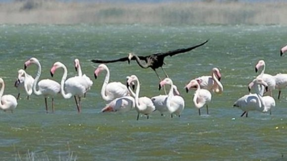 Singurul flamingo negru din lume, filmat în Cipru. VIDEO